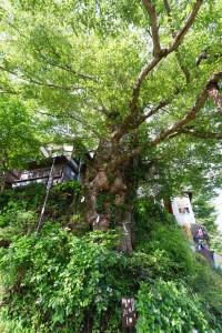 推定樹齢千年の神代欅